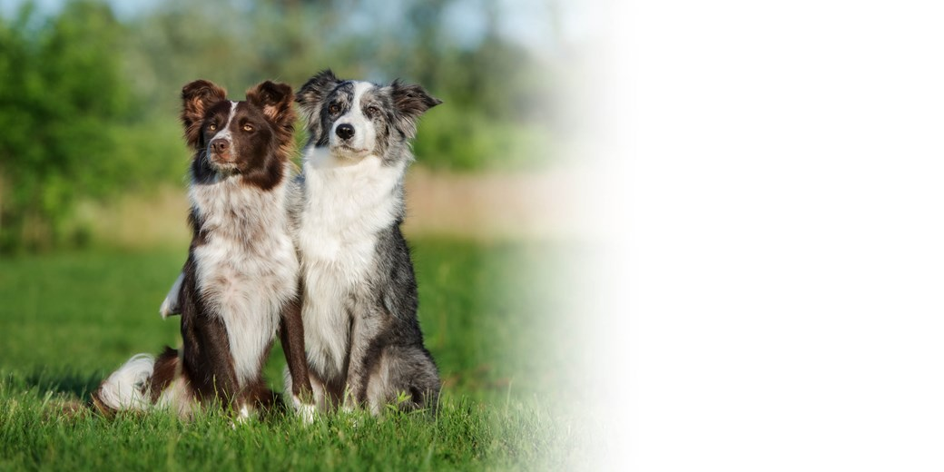 Border Collie Blog Header